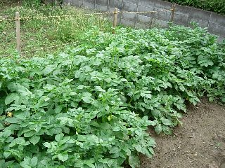 potato0601.jpg