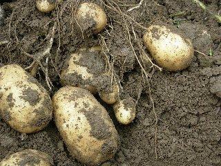 potato0620.jpg